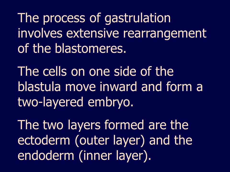The process of gastrulation involves extensive rearrangement of the blastomeres.