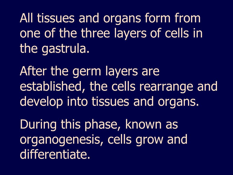 All tissues and organs form from one of the three layers of cells in the gastrula.
