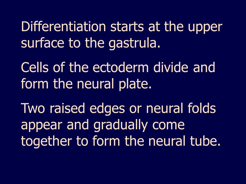 Differentiation starts at the upper surface to the gastrula.