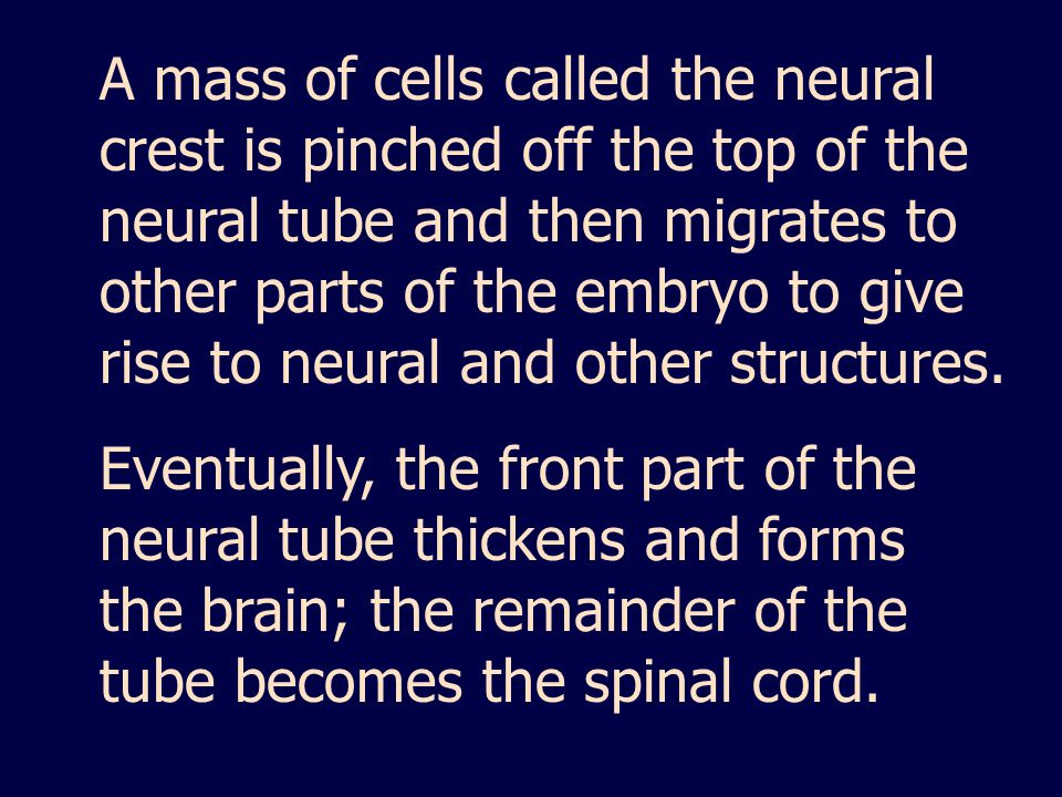 A mass of cells called the neural crest is pinched off the top of the neural tube and then migrates to other parts of the embryo to give rise to neural and other structures.