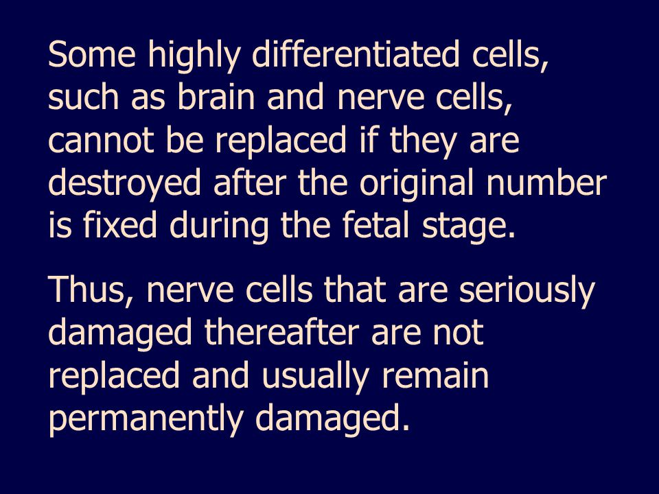 Some highly differentiated cells, such as brain and nerve cells, cannot be replaced if they are destroyed after the original number is fixed during the fetal stage.