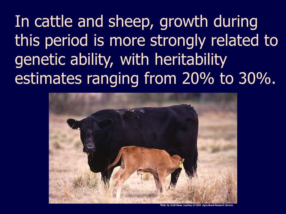 In cattle and sheep, growth during this period is more strongly related to genetic ability, with heritability estimates ranging from 20% to 30%.