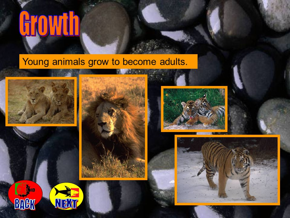 Growth Young animals grow to become adults. BACK NEXT
