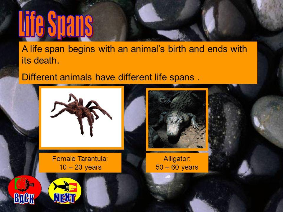 Female Tarantula: 10 – 20 years