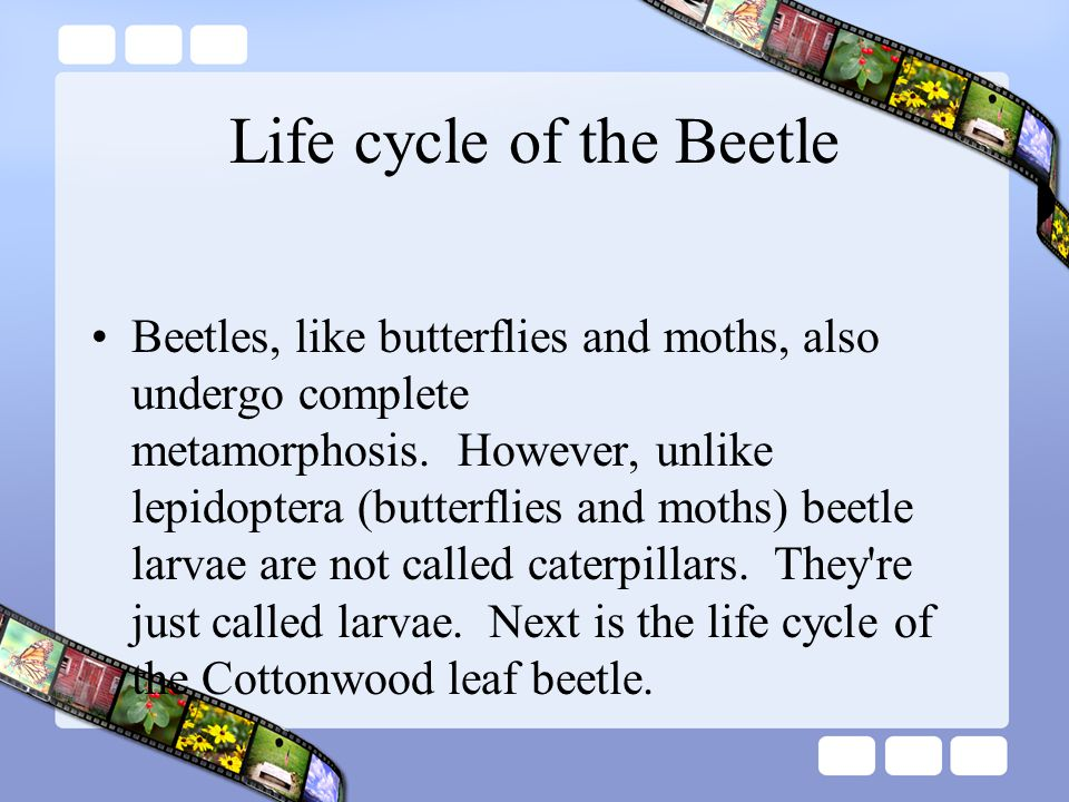 Life cycle of the Beetle