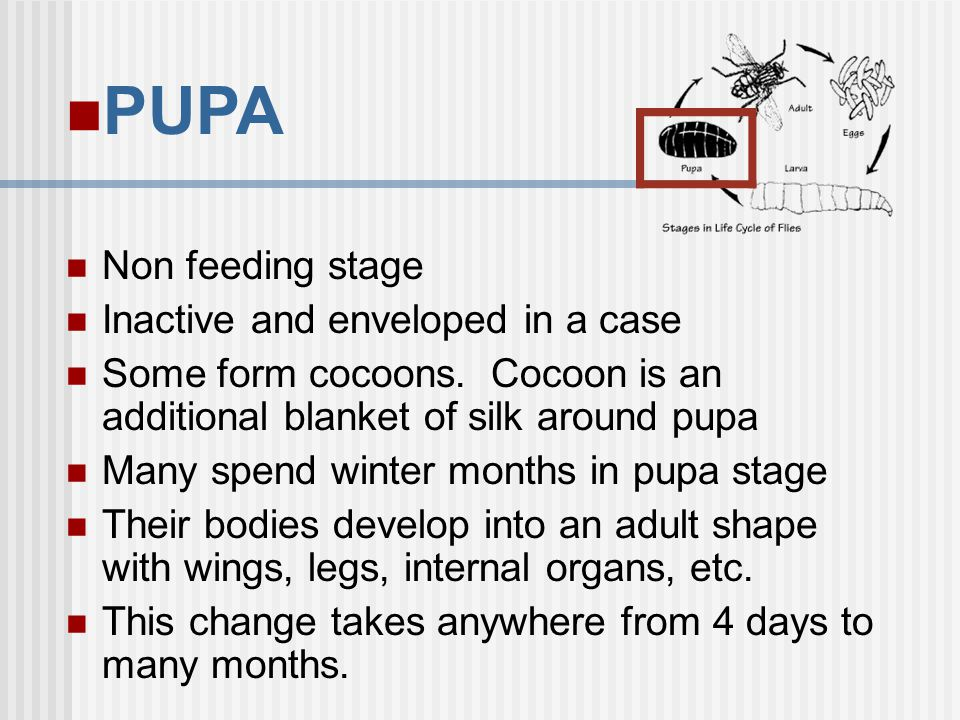 PUPA Non feeding stage Inactive and enveloped in a case