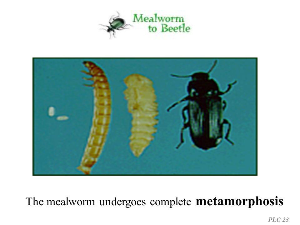 The mealworm undergoes complete metamorphosis