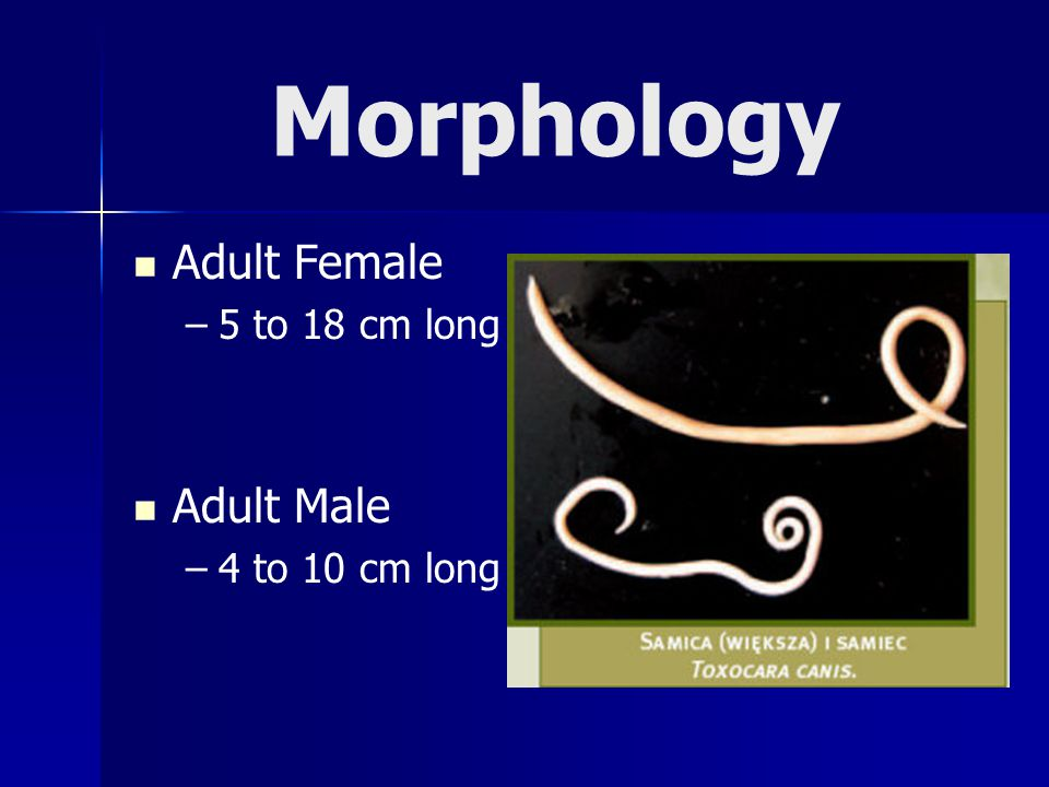 Morphology Adult Female 5 to 18 cm long Adult Male 4 to 10 cm long