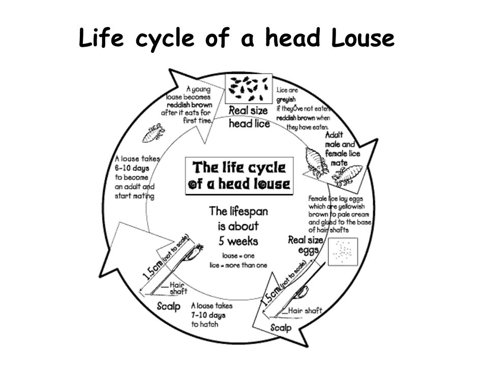 Life cycle of a head Louse