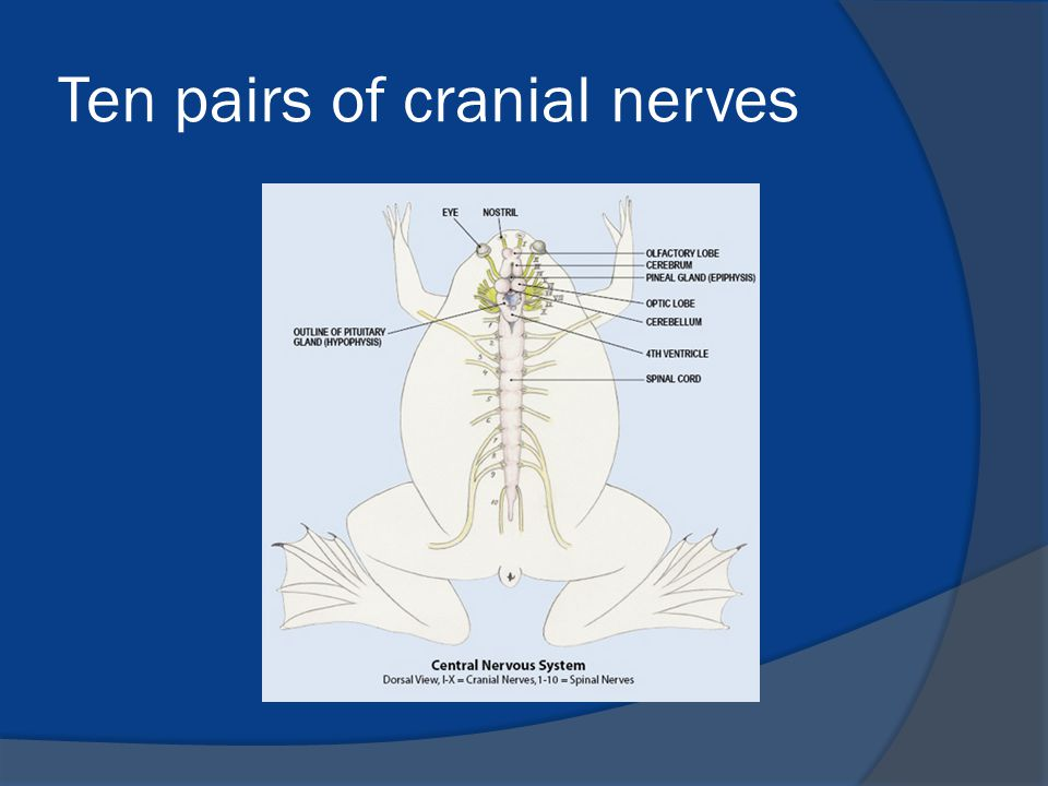 Ten pairs of cranial nerves