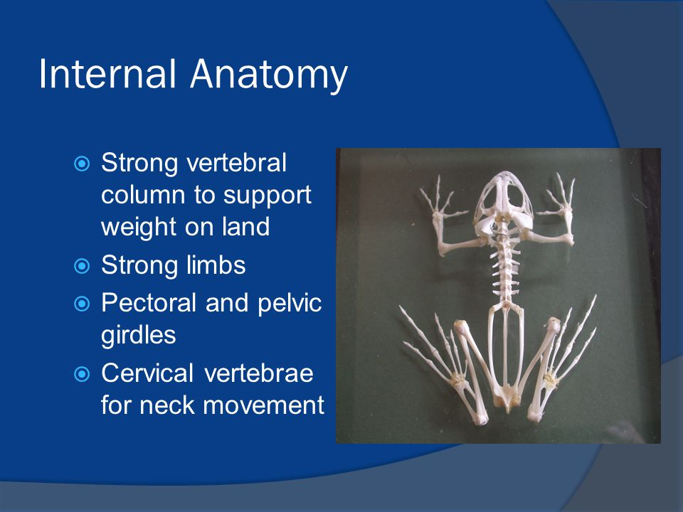 Internal Anatomy Strong vertebral column to support weight on land
