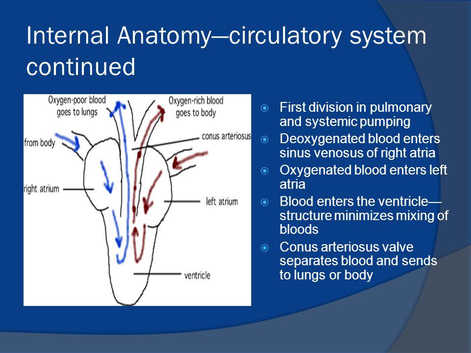 Internal Anatomy—circulatory system continued