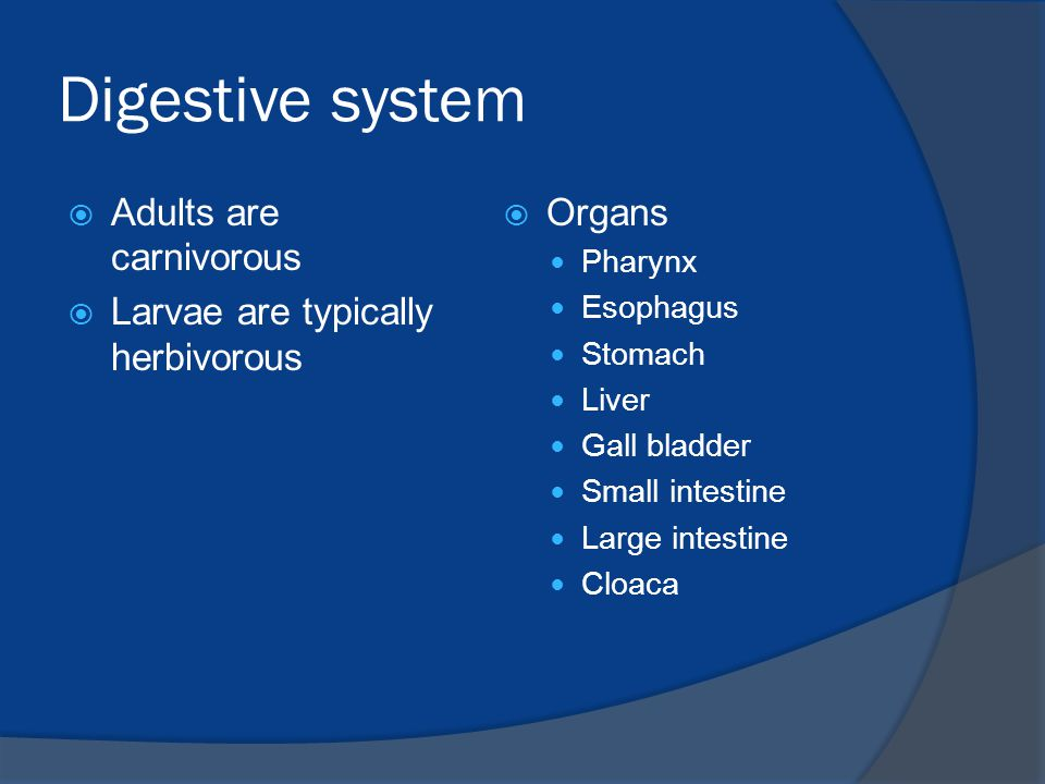 Digestive system Adults are carnivorous