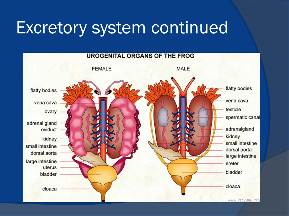 Excretory system continued