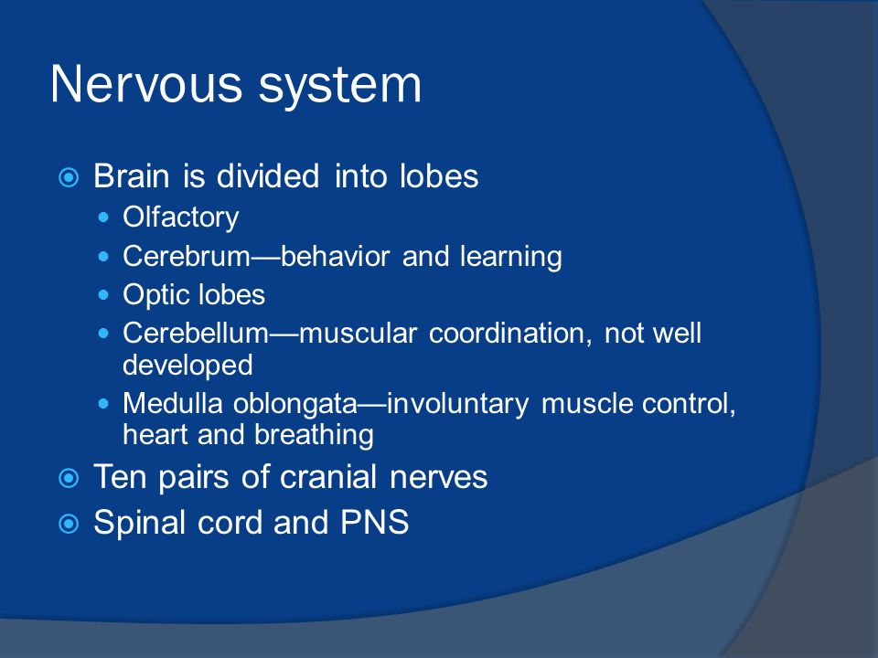 Nervous system Brain is divided into lobes Ten pairs of cranial nerves