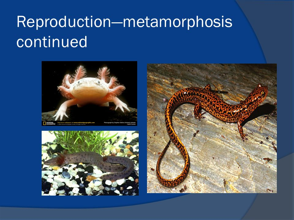Reproduction—metamorphosis continued
