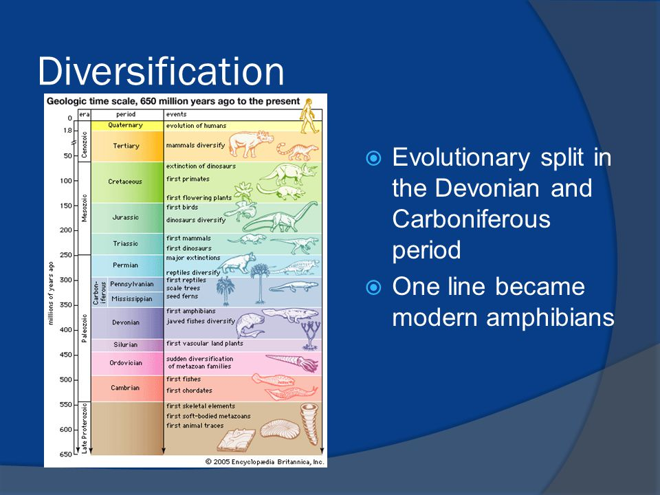 Diversification Evolutionary split in the Devonian and Carboniferous period.