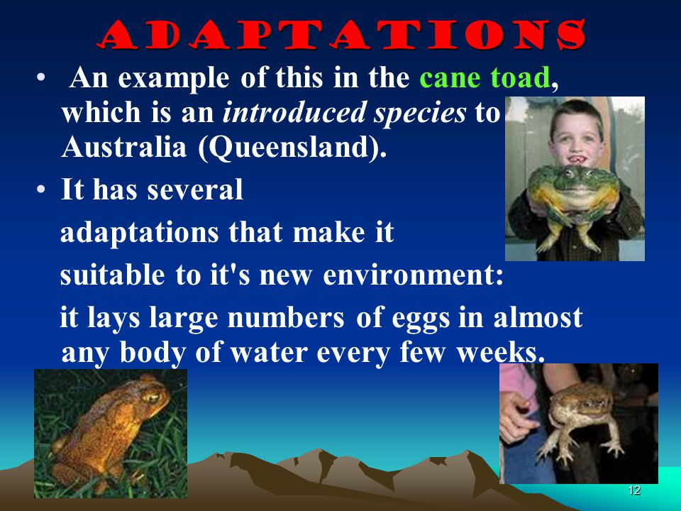 Adaptations An example of this in the cane toad, which is an introduced species to Australia (Queensland).