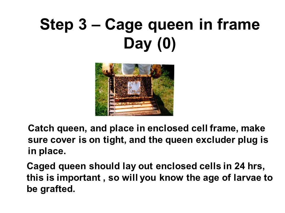 Step 3 – Cage queen in frame Day (0)