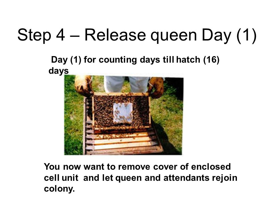 Step 4 – Release queen Day (1)