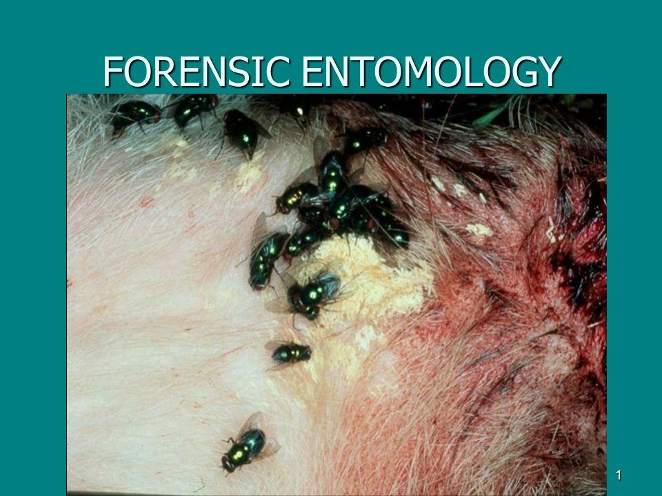 4/14/2017 FORENSIC ENTOMOLOGY
