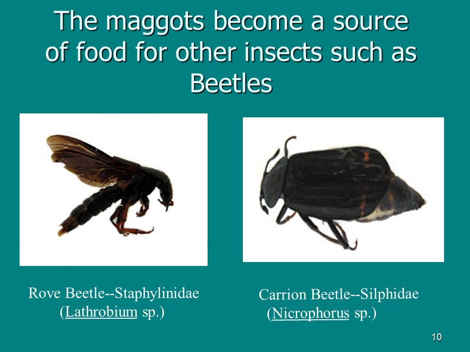 The maggots become a source of food for other insects such as Beetles