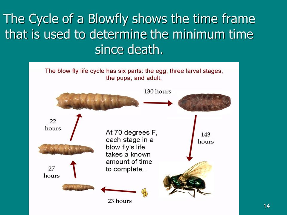 The Cycle of a Blowfly shows the time frame that is used to determine the minimum time since death.