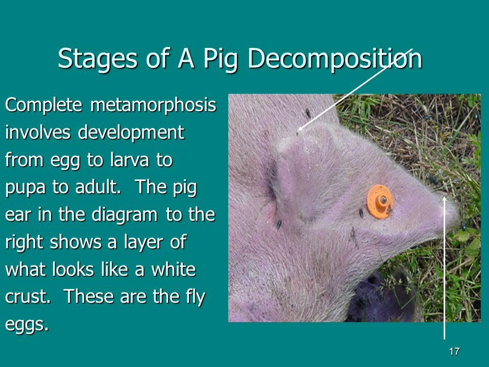 Stages of A Pig Decomposition