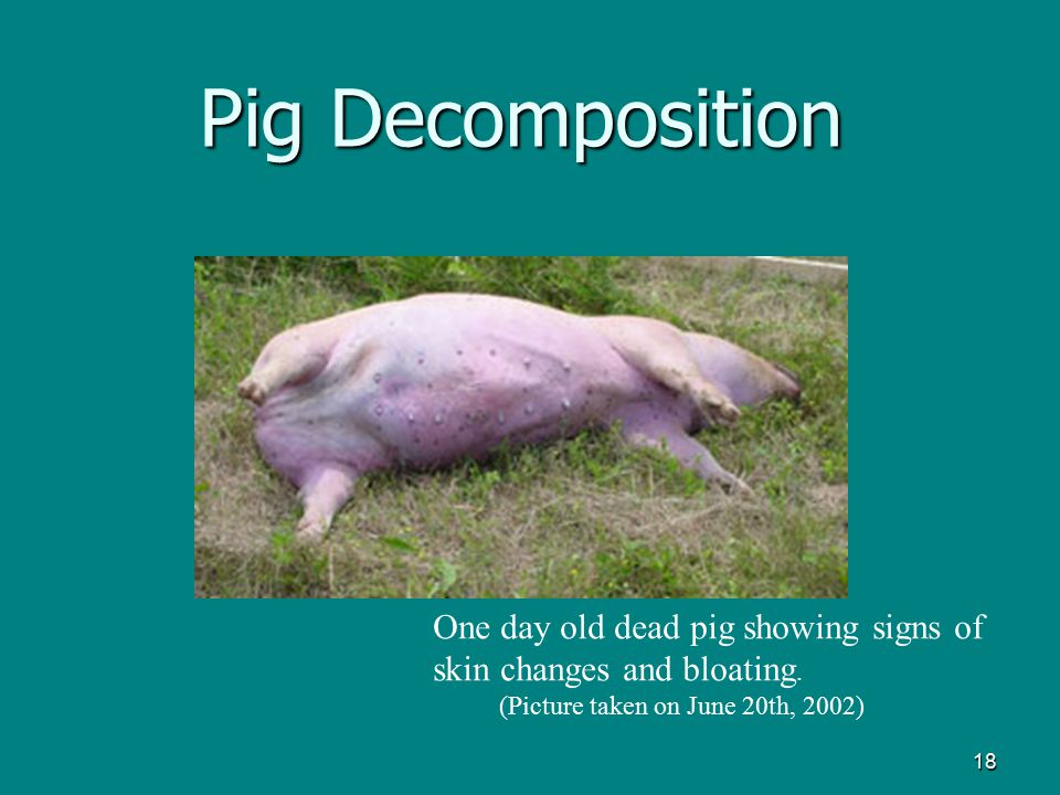 Pig Decomposition One day old dead pig showing signs of skin changes and bloating.