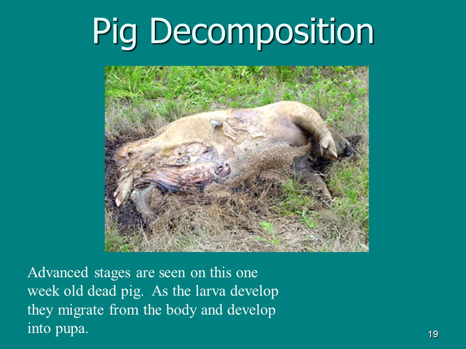 Pig Decomposition Advanced stages are seen on this one week old dead pig.