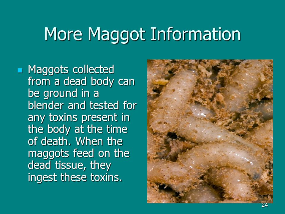 More Maggot Information