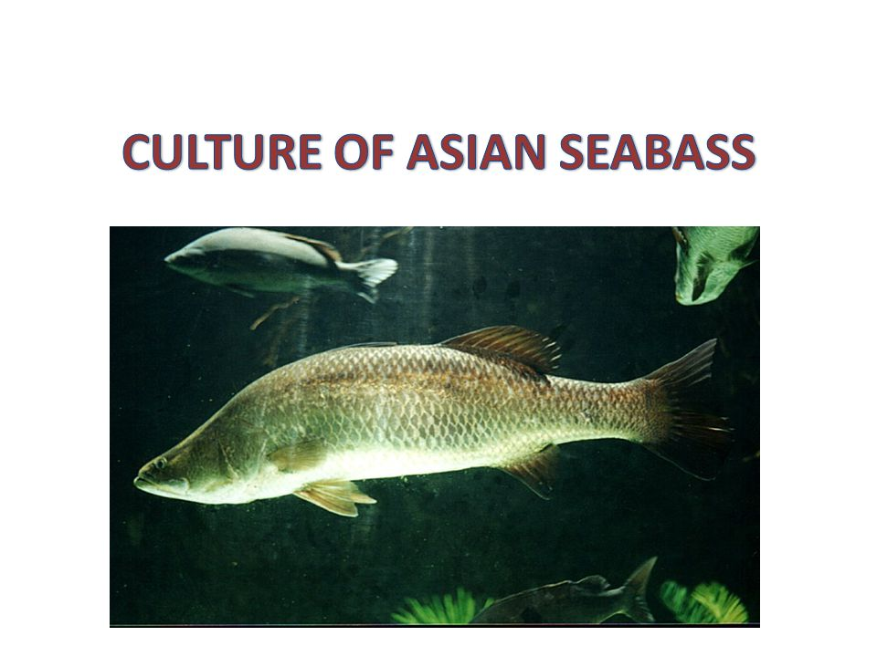 CULTURE OF ASIAN SEABASS