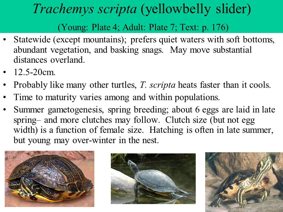 Trachemys scripta (yellowbelly slider) (Young: Plate 4; Adult: Plate 7; Text: p. 176)