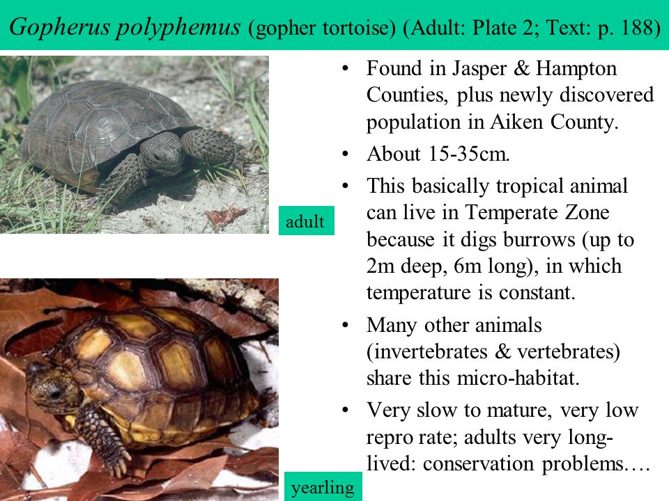 Gopherus polyphemus (gopher tortoise) (Adult: Plate 2; Text: p. 188)