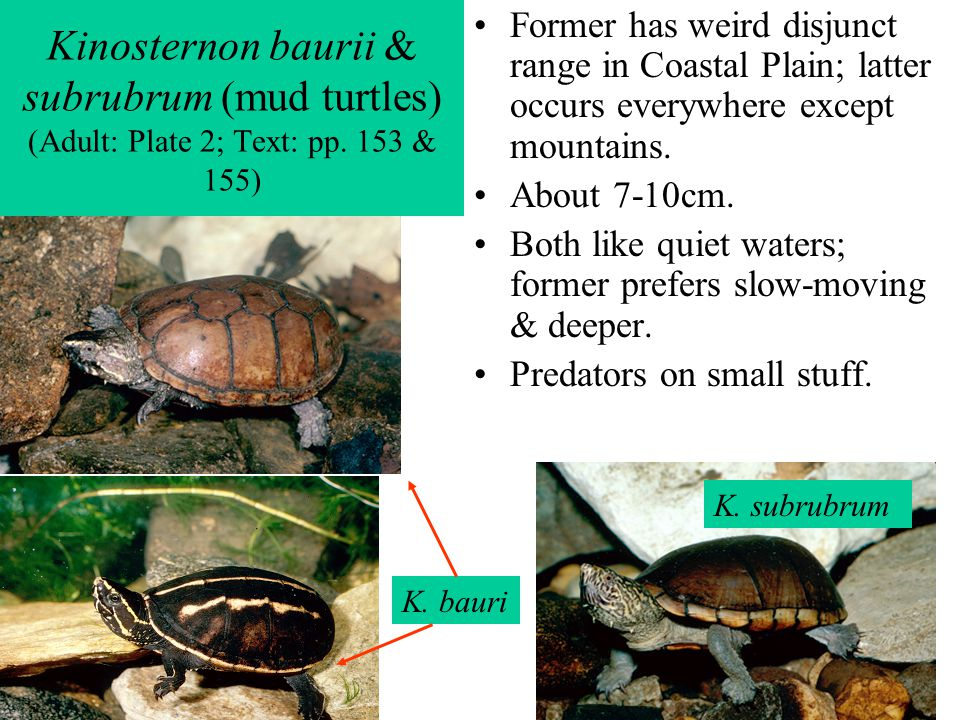 Kinosternon baurii & subrubrum (mud turtles) (Adult: Plate 2; Text: pp