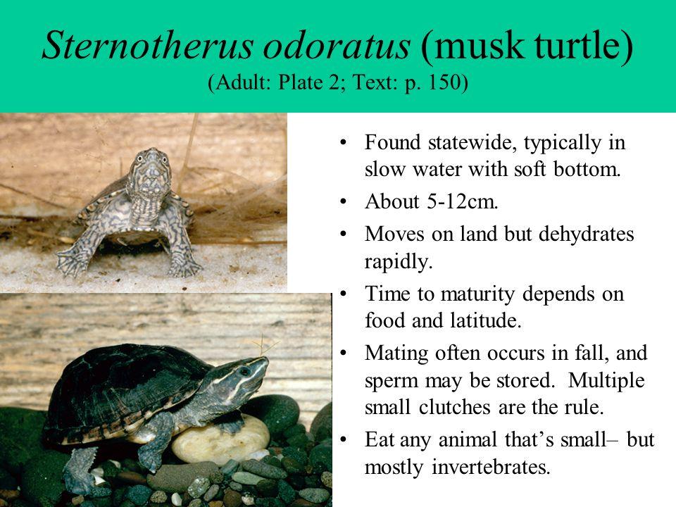 Sternotherus odoratus (musk turtle) (Adult: Plate 2; Text: p. 150)