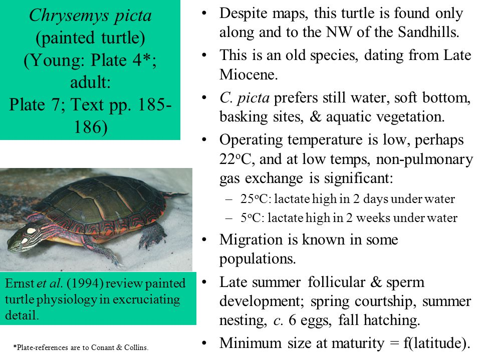 Chrysemys picta (painted turtle) (Young: Plate 4