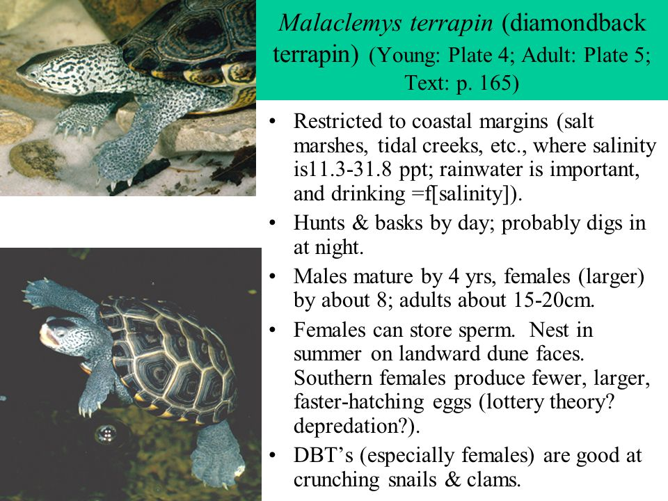 Malaclemys terrapin (diamondback terrapin) (Young: Plate 4; Adult: Plate 5; Text: p. 165)