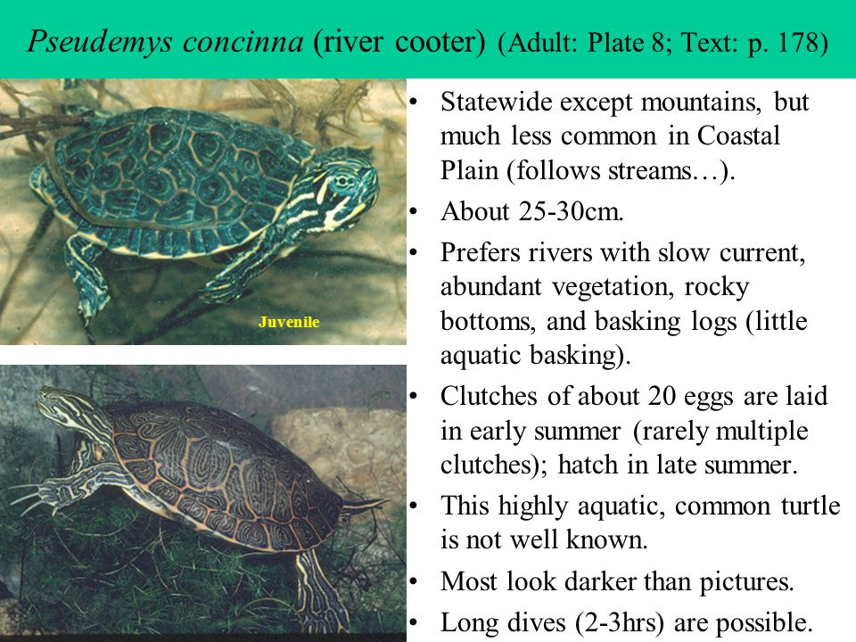 Pseudemys concinna (river cooter) (Adult: Plate 8; Text: p. 178)