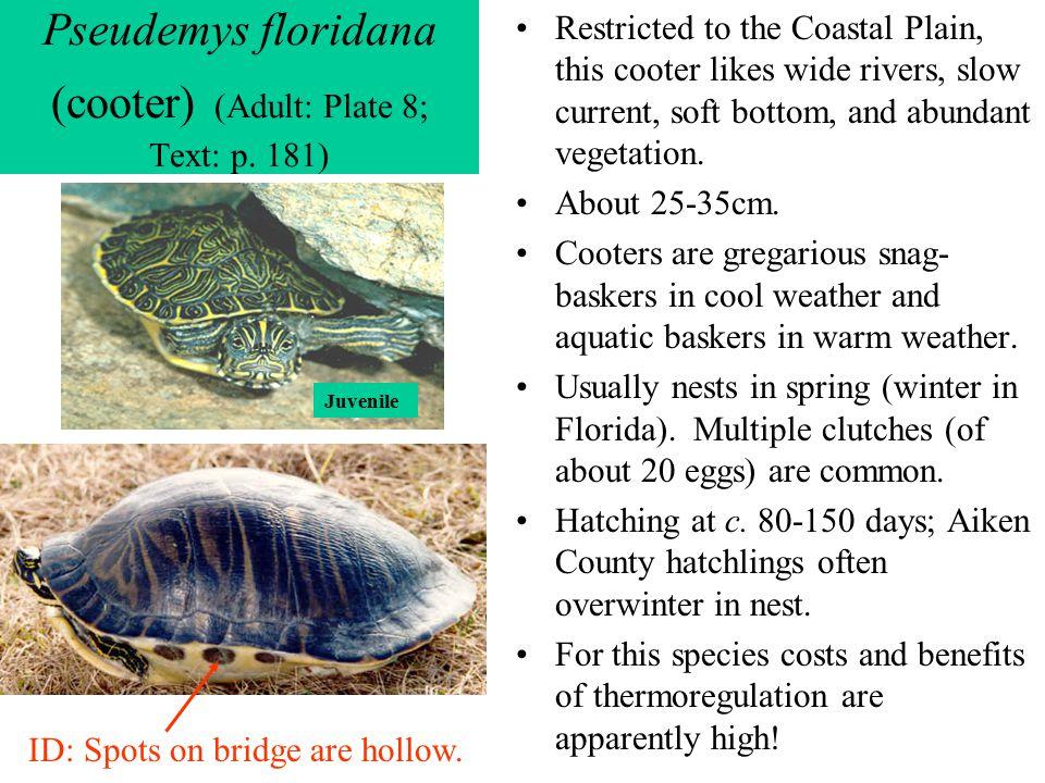 Pseudemys floridana (cooter) (Adult: Plate 8; Text: p. 181)