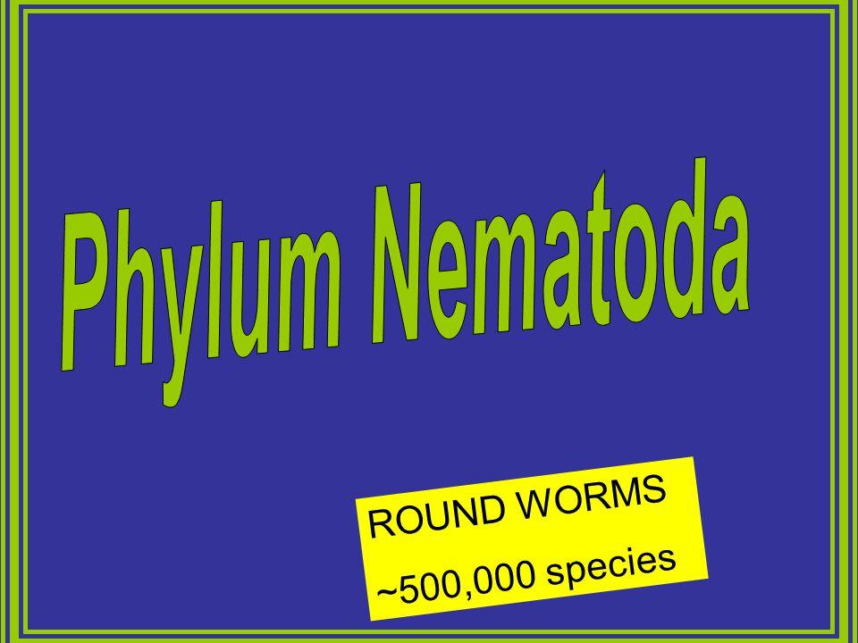 Phylum Nematoda ROUND WORMS ~500,000 species