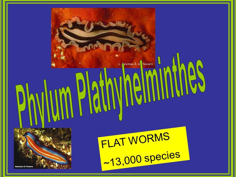 Phylum Plathyhelminthes