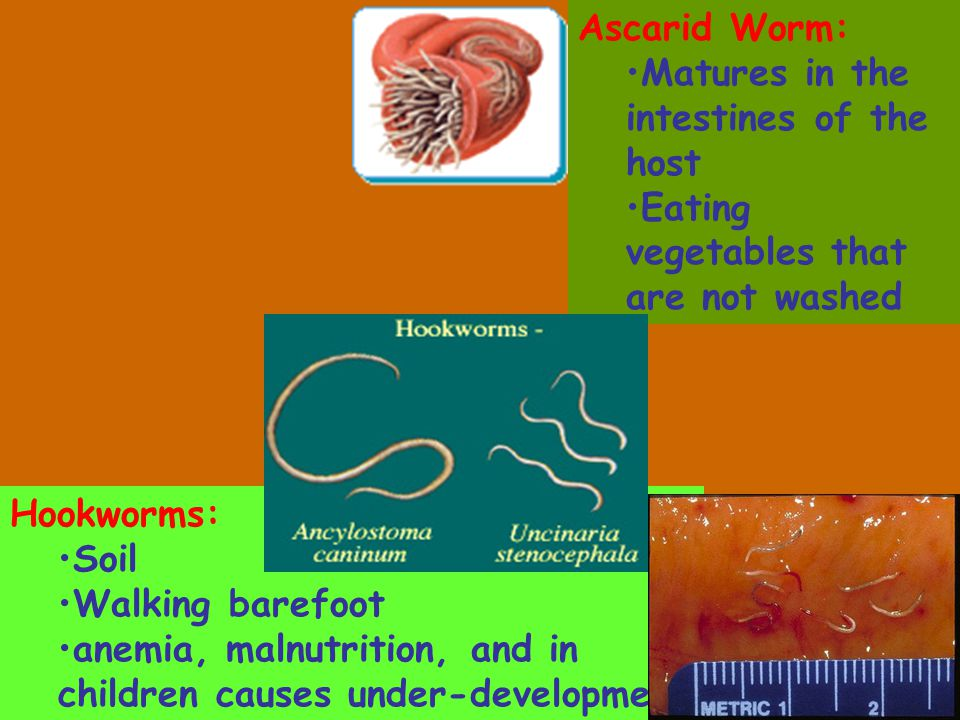 Ascarid Worm: Matures in the intestines of the host. Eating vegetables that are not washed. Hookworms: