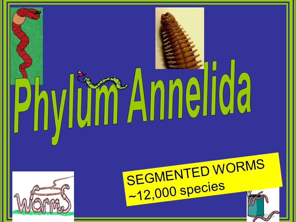 Phylum Annelida SEGMENTED WORMS ~12,000 species