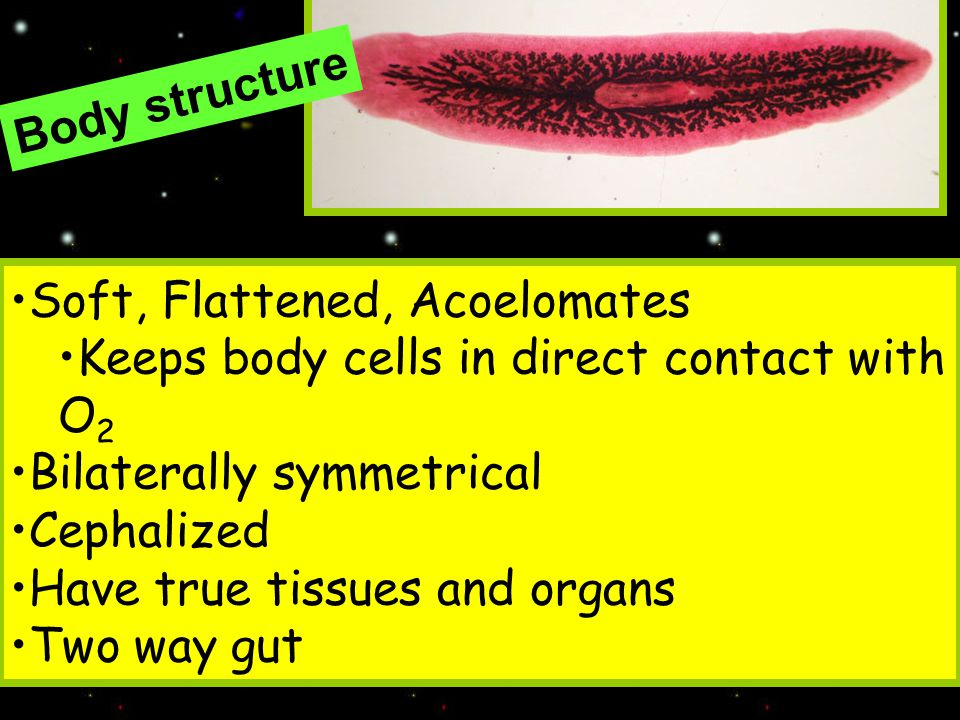 Body structure Soft, Flattened, Acoelomates. Keeps body cells in direct contact with O2. Bilaterally symmetrical.