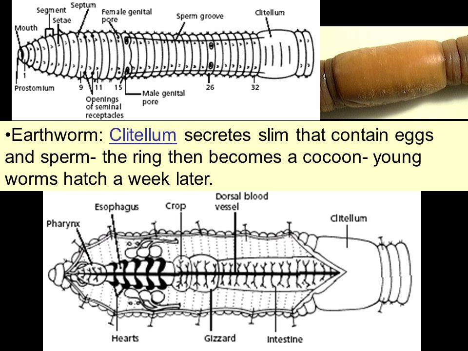 Earthworm: Clitellum secretes slim that contain eggs and sperm- the ring then becomes a cocoon- young worms hatch a week later.