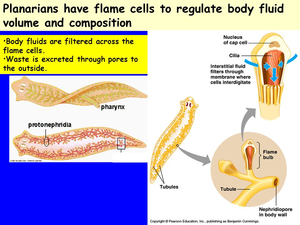 Planarians have flame cells to regulate body fluid volume and composition