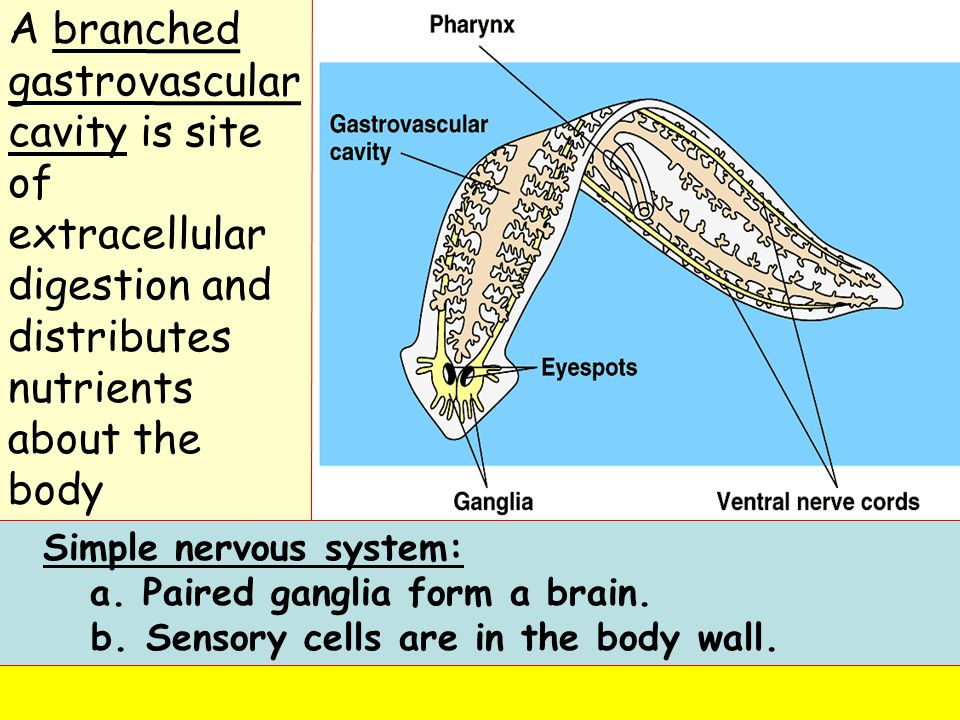 A branched gastrovascular cavity is site of extracellular digestion and distributes nutrients about the body