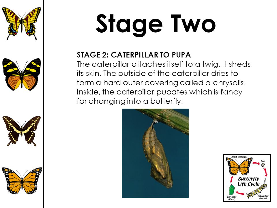 Stage Two STAGE 2: CATERPILLAR TO PUPA