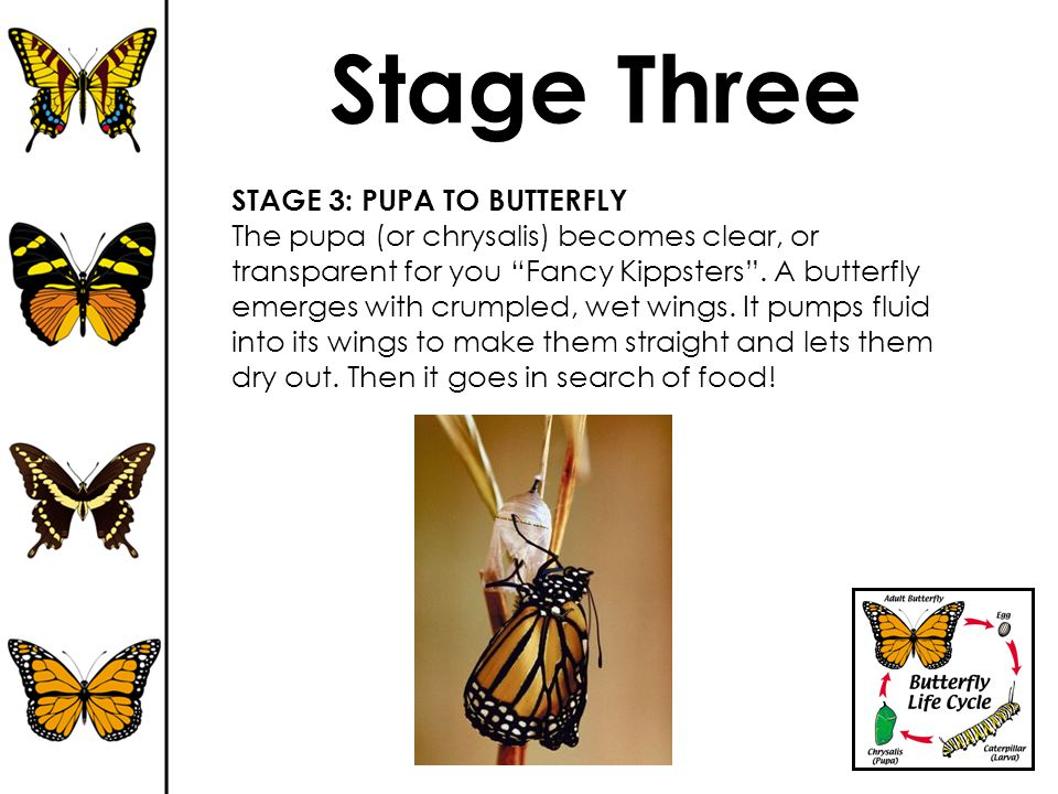 Stage Three STAGE 3: PUPA TO BUTTERFLY
